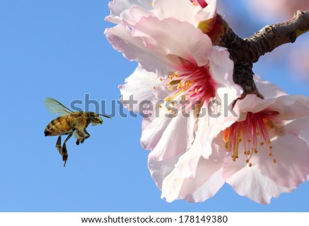 Bee and pink almond flower Close up - stock photo