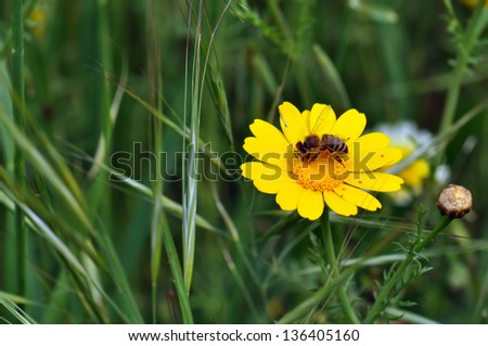 Bee and tiny red mites on yellow wild flower. Spring season background. - stock photo