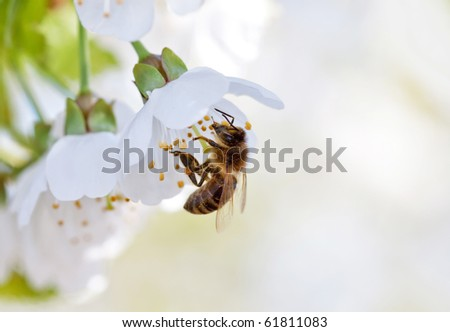 bee and white flowers - stock photo