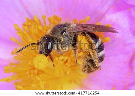 Bee (Anthophila) on a flower of Cistus albidus