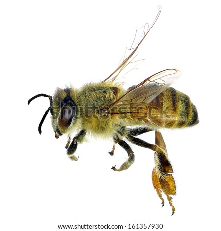 Bee (Apis mellifera) isolated on the white background  - stock photo