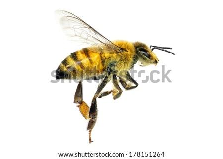 Bee (Apis mellifera) isolated on the white background  - stock photo