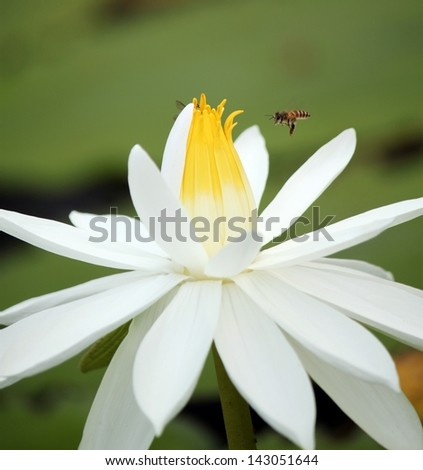 bee approaching white lotus flower - stock photo