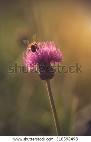 Bee collect pollen in field at sunset - stock photo