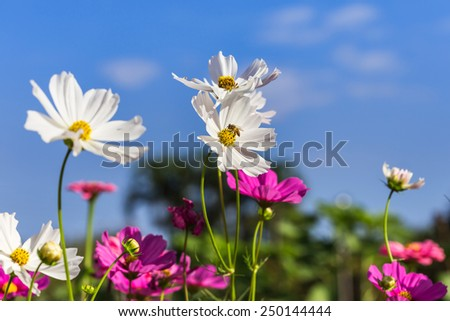 bee collect  pollen nectar from white cosmos flower blooming  on field  blue sky background  - stock photo