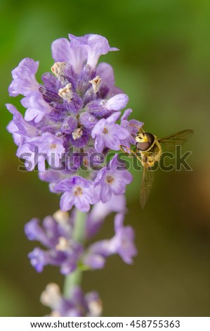 Bee collecting nectar at lavender