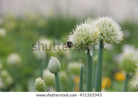 bee collecting nectar from an edible plant, blooming perennial - green onions (Welsh), growing in the garden
