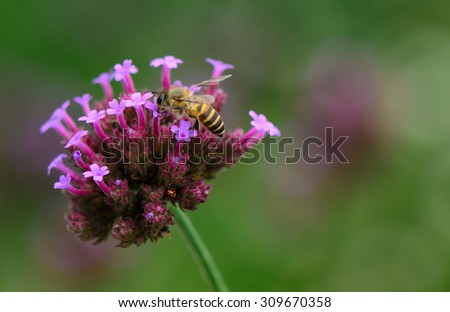 Bee collecting nectar on verbena flower with green background. - stock photo