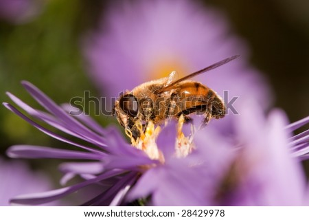 Bee collecting pollen from blue Chrysanthemum flower
