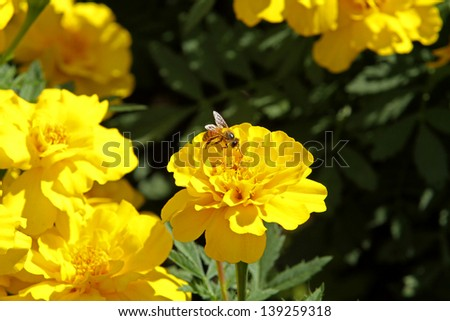 Bee collecting pollen from calendula or marigold flower in nature - stock photo