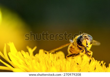 bee collecting pollen on a dandelion macro - stock photo