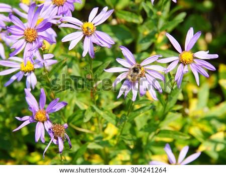 Bee collecting pollen on Alpine Aster  (Oresostemma apligenum ), near Paradise, Mount Rainier National Park - stock photo