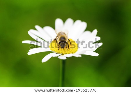 Bee collects honey on the blossom - stock photo