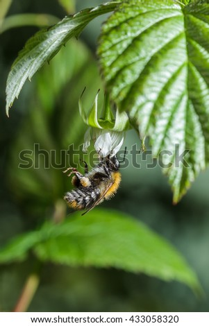 bee collects nectar from a flower of raspberry