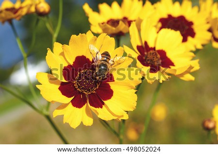 Bee collects nectar from flower Cosmidium macro.