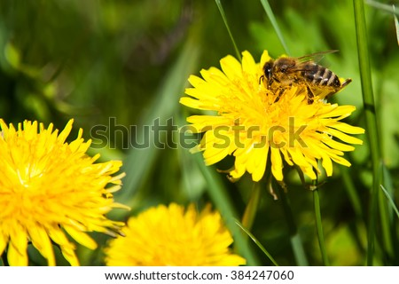 bee collects nectar on a dandelion, yellow dandelion, flower, green grass, yellow pollen - stock photo