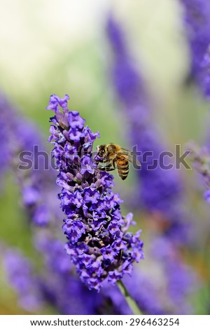Bee collects nectar on the flowers of lavender.Close-up - stock photo