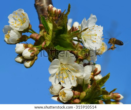 Bee collects pollen from a white flowers - stock photo