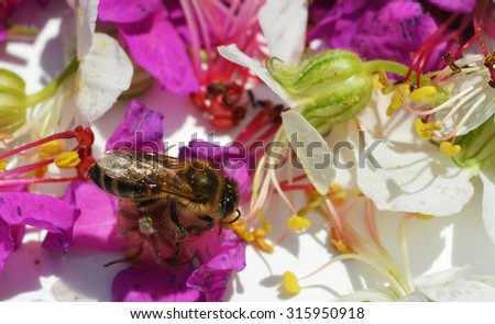 Bee collects pollen from geranium - stock photo