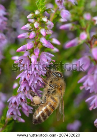 bee collects pollen, heather - stock photo