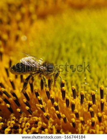 bee collects pollen in the sunflower  - stock photo