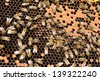 Bee colony in the beehive - stock photo
