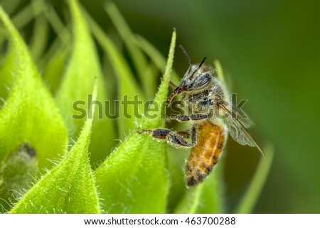 Bee covered in pollen on green leaf.