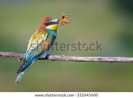 Bee-eater and the Butterfly
