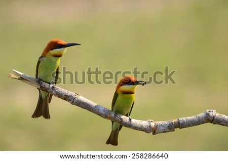 Bee eater bird. - stock photo
