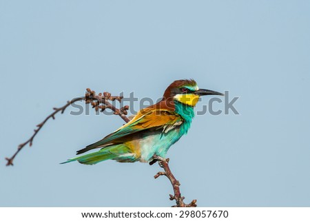 bee-eater bird - stock photo