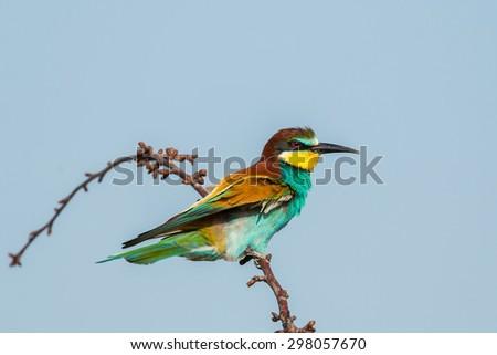 bee-eater bird - stock photo