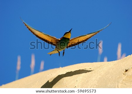 Bee-eater bird in flight.