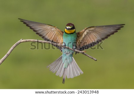 Bee eater flying and branch - stock photo