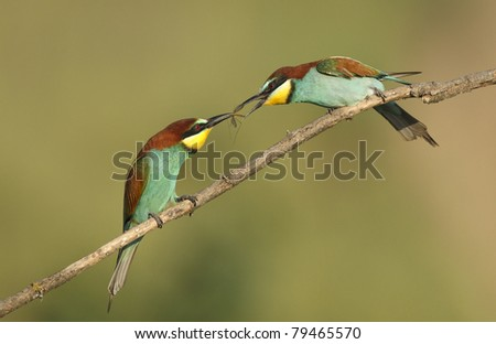 Bee Eater gift ( Merops Apiaster ) - stock photo