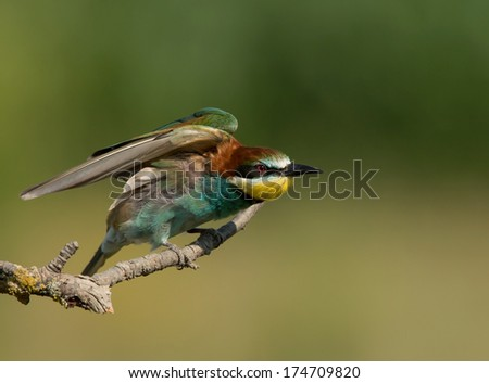Bee-eater in spread wing posture  - stock photo