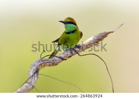 Bee-eater in the wild on the island of Sri Lanka - stock photo