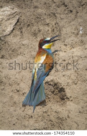 Bee-eater (Merops apiaster) - stock photo