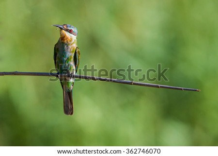 Bee Eater South africa - stock photo