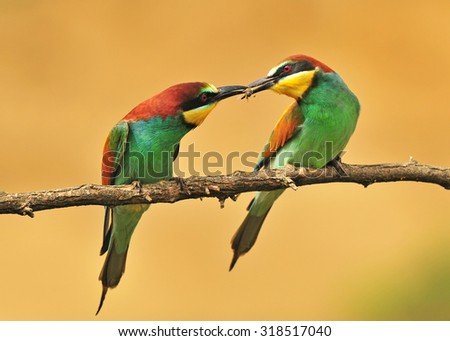 Bee eaters sharing a bee - stock photo