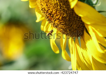 Bee fly to sucking nectar from sunflower,close up shot.