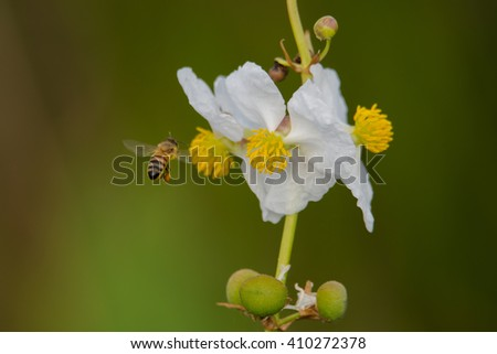 Bee flying and collecting pollen from a white flower - stock photo