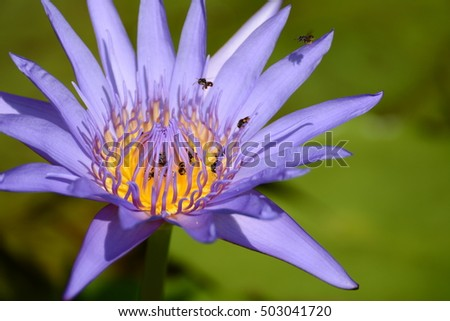 Bee flying and violet lotus flowers