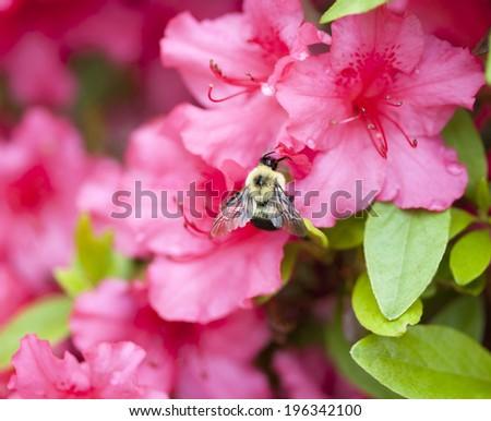 Bee flying near a pink azalia bush - stock photo