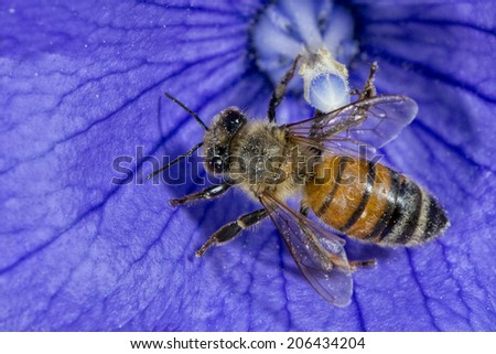 bee flying to you from violet flower - stock photo