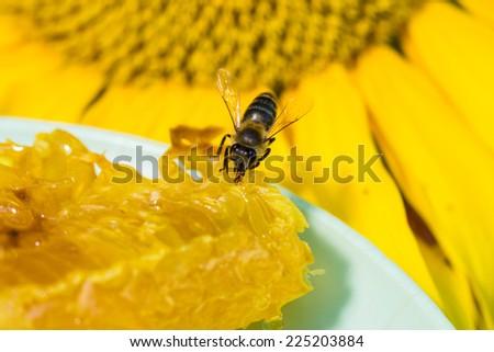Bee gathering honey and nectar with proboscis. - stock photo