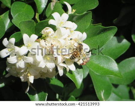 Bee gathering nectar from Jasmine flowers