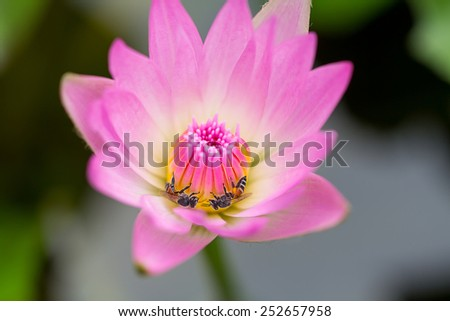 Bee gathering nectar from pink lotus. - stock photo