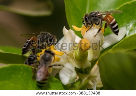 Bee helps pollination on lime flower - stock photo