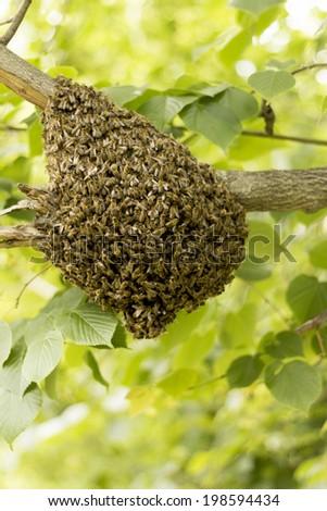 Bee hive swarming on tree - stock photo
