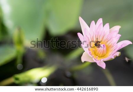 Bee in a Beautiful Pink Lotus Flower Blooming In The Water Jar - stock photo